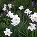 Weil es so schön war: Noch einmal Weisse Bergnarzisse (Narcissus radiiflorus)