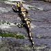 ein schönes Exemplar, bei diesem Wetter fühlt sich der Salamander wohl