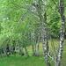 frischgrüne Birken oberhalb Monti