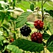 <br />Bacche pagane<br /><br />Baies de païens<br /><br />Pagan berries<br /><br />Heidenbeeren<br /><br /><br /><br /><br /><br />