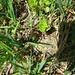 Ein grün-golden schimmernder Käfer. Dauerte etwas bis er für's Photoposing inne hielt. ;-)