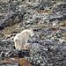 Auf dem Weg dortin treffe ich noch eine relativ seltene Mountain Goat. Der Bursche war aber definitiv schneller unterwegs als ich. Man könnte fast meinen, er streckt mir absichtlich die Zunge raus. Frechheit :-)!