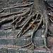 Für diesen Baum ist nicht einmal eine Steinmauer ein Hindernis!