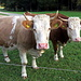 Kühe bei der Waldherralm