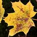 Herbstlaub eines Ahorns