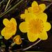 Caltha palustris, Sumpfdotterblume