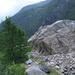 Die Zunge des Belvedere-Gletscher stösst vor und fällt Bäume