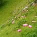Peonia Selvatica (Paeonia officinalis)
