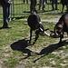 Combat de chèvres