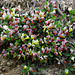 Blumen am Wegrand: Buchsblättrige Kreuzblume (Polygala chamaebuxus)