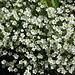 Einblütiges Hornkraut (Cerastium uniflorum)