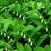 Unterhalb Raaft: Echtes Salomonssiegel (Polygonatum odoratum)