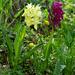 Gesucht und gefunden: Holunder-Knabenkraut (Dactylorhiza sambucina)
