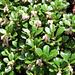 Blühende immergrüne Bärentraube (Arctostaphylos uva-ursi)