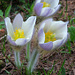 Frühlings-Anemone (Pulsatilla vernalis)