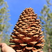 <i>Bigger is better</i><br />Even the pine cones live up to this motto ;-)