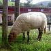 Und liebe Schafe bei ebendem. Im Hintergrund, naja, liebe Menschen, die im Biergarten der Abtei Neuburg in etwa dasselbe tun.
