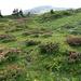 a whole football field of Alpenroses (near Tisch)