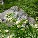 Schwalbenwurz (Vincetoxicum officinale) am Aufstieg zur corona dei cristiani