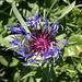die äusserst filigrane, farbenprächtige Bergflockenblume begegnet uns häufig