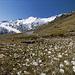 Wollgras auf dem Weg zum Ramolhaus ,hinten der Schalfkogel (3537m)