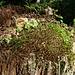 Bosco bonsai su vecchio ceppo 1