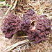 "<a href=""http://it.wikipedia.org/wiki/Gyromitra_esculenta"" rel=""nofollow"" target=""_blank"">Gyromitra esculenta</a>"