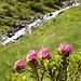 Die Alpenrosen blühen schon