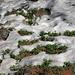 Immergrüne Bärentraube im Schnee