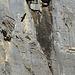 Adler vor der Felswand.