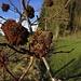 Gespinst der Gallwespe (Cynipidae), sog. Schlafapfel in einem Hunds-Rosenstrauch (Rosa canina)