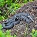 Schwarze Kreuzotter (glaube ich) im Abstieg gesehen.