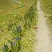 Am Wegesrand die giftigste Pflanze in unseren Breitengraden: Der blaue Eisenhut.