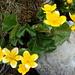 Gelber Farbtupfer: Sumpfdotterblume (Caltha palustris)
