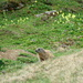 Unzählige Murmeltiere begleiten mich im Fläscher Tal