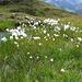 Feuchtwiese mit Wollgras am Unteren Maroijoch (2.241m).
