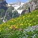Säntis hinter üppiger Blumenwiese