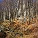 Zwischen etwa 700m und 1000m verläuft der Aufstieg meistens durch schöne Birkenwälder.
