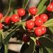 Früchte der Europäischen Stechpalme (Ilex aquifolium), fotografiert bei den Alphütten von Littuno. Die Früchte sind stark giftig, die tödliche Dosis liegt bei 20-30 Beeren. Die Pflanzen enthalten bis 0,7% vom Nitril Menisdaurin welches grösstenteils für die Giftwirkung verantworlich ist.