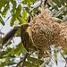Webervögel im Kamakia Camp