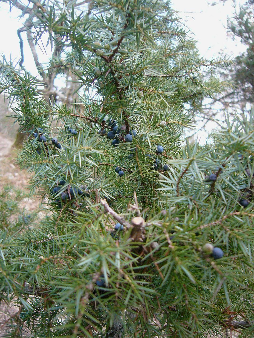 gemeiner wacholder juniperus communis beim aufstieg zum. Black Bedroom Furniture Sets. Home Design Ideas