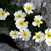 Renoncule alpestre (Ranunculus alpestris)
