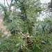 Gemeiner Wacholder (Juniperus communis) beim Aufstieg zum Aussichtspunkt Tiocan. Die Trockenvergetation im untersten trockenen Waldabschnitt erinnert fast an Mittelmeervegetation.