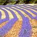 Lavendel - Seele der Provence