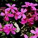 Saponaire faux basilic (Saponaria ocymoides)