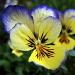 Pensée tricolore (Viola tricolor)