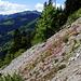 Rocailles fleuries sur le flanc sud de la Mittagflue