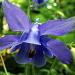 Ancolie vulgaire (Aquilegia vulgaris)