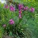 Im Aufstieg nach Eril: Gemeine Pechnelke (Silene viscaria)