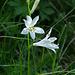 Häufig im Hang nach Eril: Weisse Trichterlilie (Parasidea liliastrum)